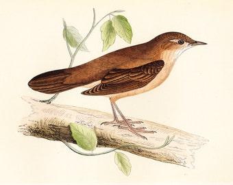 Savi's Warbler . ORIGINAL PRINT . antique bird plate woodblock . vol III . dated 1853 old vintage