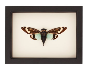 Framed Cicada Insect Art Display