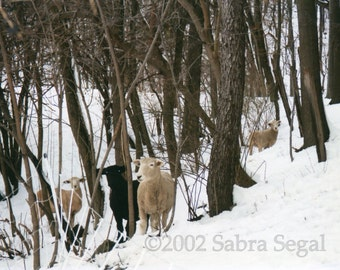 Sheep in Woods, No.4, of series, print of photograph by Sabra Segal