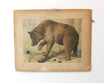 Original school charts of a bear (rare) , zoology, school chart, Alfred Jacobsens 1895