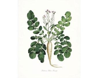 Italian Botanical Giclee Print - Parsnip No. 2
