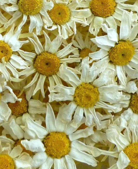 25 dried daisies real daisies dry flower wedding for Dried flowers craft supplies