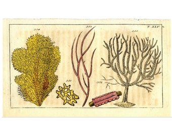 1813 ANTIQUE CORAL ENGRAVING mini antique print original engraving rare and unusual no.2