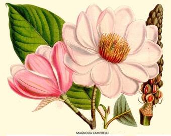 antique french botannical print magnolia campbellii pink magnoloa flower illustration digital download