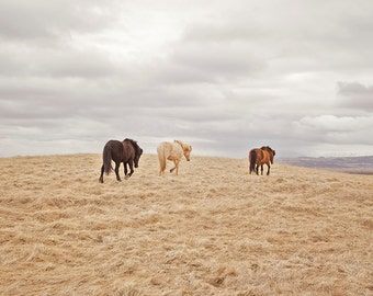 Modern Horse Photograph in Color, Icelandic Horses