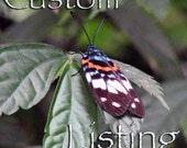 Custom Order - Natural Erasmia pulchere Moth Wings