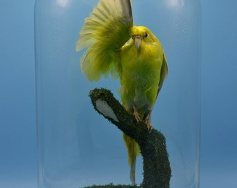 real birds taxidermy of light green parrot  mounted with glass dome and base,cool gift,free shipping