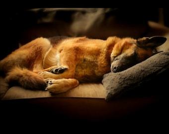 German Shepherd Photography,gorgeous german shepherd sleeping on couch,dog lovers gift idea,peaceful home decor,sleeping dog print,dramatic