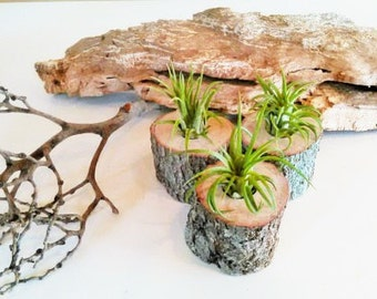 3 Air Plant Terrariums- Rustic Wedding decor - Wedding favors - Air plants - Table decor - Outdoors and garden -  Event planning