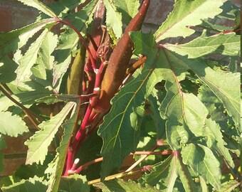 Burgundy Okra Seed 50