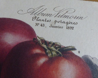 Botanical Print, French, Vintage, Vilmorin Circa 1990