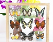 REAL mixed BUTTERFLIES Taxidermy Double Glass in Frame /M90S