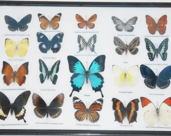 REAL 20 Butterflies Wall Decor Housewares Collectible TAXIDERMY Framed Extra ULYSSES/BTF14H
