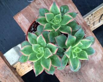 Succulent Plant -Medium size Aeonium 'Kiwi'