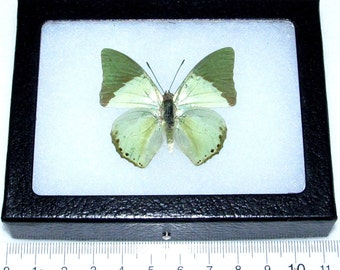 Real framed butterfly green african charaxes eupale