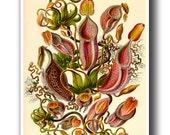 Botanical Print, Botanical Poster, Ernst Haeckel Nepenthes Illustration, Botanical Wall Art, Carnivorous Plant, Venus Flytrap, Pitcher Plant