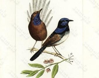 Original antique Hand Colored Bird Engraving  Exotic Birds