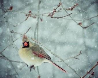 Bird  Photograph - female Cardinal - Winter Bird - Snowy Winter - New York Cardinal - Nature Art - Bird in Snow - Red Cardinal - Winter tone