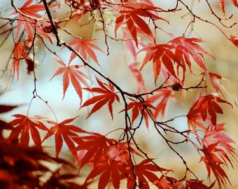 Japanese Maple Tree - Red Leaves - Autumn Tree Art - Fall Foliage - Autumn Red - Wall Decor - Nature Photograph