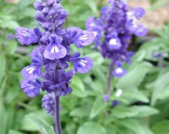Blue Sage/Salvia flowers, ornamental, 40+ seeds