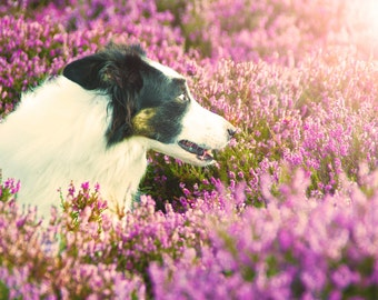 Border Collie dog in Heather flowers