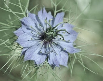 Love In A Mist  (Nigella Damascena)... Fine Art Photographic Blank Greetings Card