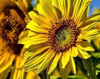 Sunflower Seeds - GOLDEN CHEER - Helianthus Annuus -Butterfly Favorite -10 Seeds