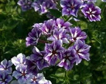 30+ Sugar Stars Phlox Flower Seeds