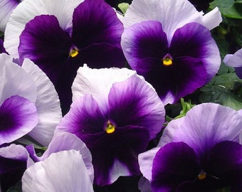 Pansy Viola Swiss Giant Beaconsfield * 35 Seeds