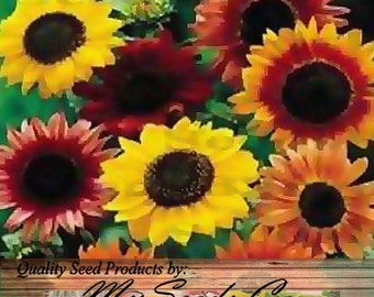 GOLDEN Autumn Beauty Sunflower seed ~ DROUGHT TOLERANT - Gold, Brown and Deep Red Extended Blooms