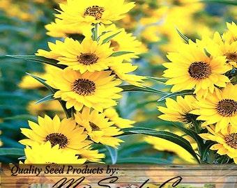 400 x MAXIMILIAN PERENNIAL SUNFLOWER seed - Over 8 Feet Tall -  Taller Than Mammoth Sunflower