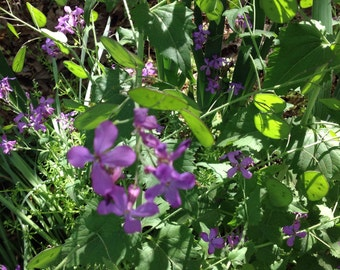Lot of 10 Money Plant Seed Pods Lunaria Silverdollar
