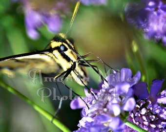 Swallowtail Butterfly Photo