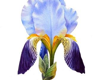 Iris, ORIGINAL watercolor painting, botanical art, botanical painting, watercolor iris, floral painting, esperoart.