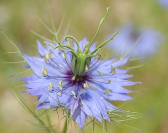 Photography blue flower_download_natur_Provence-France