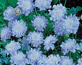 Light Blue Pincushion Flower Seeds / Scabiosa / Perennial  25+