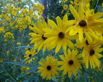 Perennial Sunflower - Fall Bloomer (aka Swamp Sunflower)