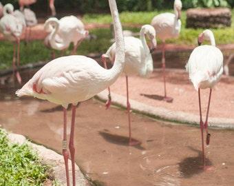 Brazil, Iguazu Falls, flamingo, wildlife photography, Brazil print, Brazil photography, wall art print, professional photo, #040