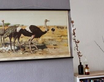 Original Vintage School Chart 'Ostrich' (Vogel Strauß)- Pull Down Map (Canvas, Wood)