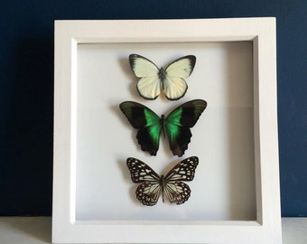 Real Framed Butterfly Taxidermy