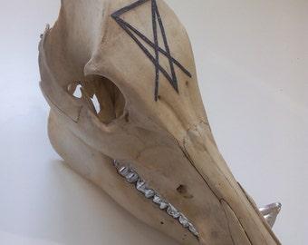 WILD BOAR SKULL / crane boar