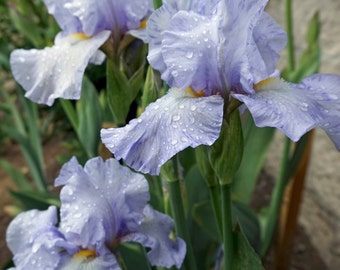 Rain on Frost 2009 Tall Bearded Iris- Light lavender blue - SALE