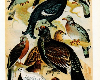 Vintage Pigeons and Pheasants Print - Double Sided Bird Lithograph