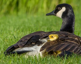 Digital Download: Canada Goose and gosling photo