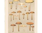 Antique 1895 mushroom print by CHARLES PECK, Plate 13, botanical, fungi, vintage chromolithograh print