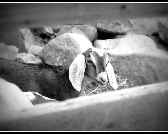 Refrigerator Magnet Goat Photograph Black & White by Teressa Terry - Made to Order