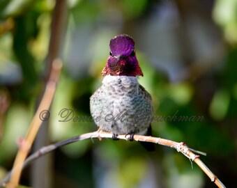 Hummingbird Photos - Anna's Hummingbird Photo - Hummingbird Photography - Hummingbird Art - Pink Purple Bird Photography