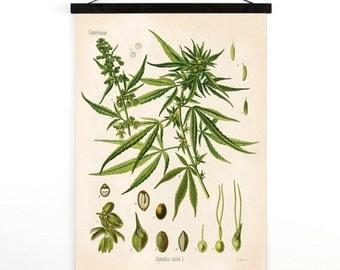 Marijuana Pull Down Chart - Botanical Cannabis Sativa Diagram Print. Educational Poster Kohler's Botanical. Medicinal Plant Guide - CP247cv