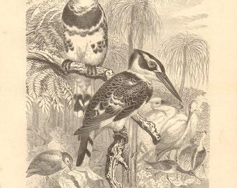 1879 Pied Kingfisher - Ceryle rudis Original Antique Engraving