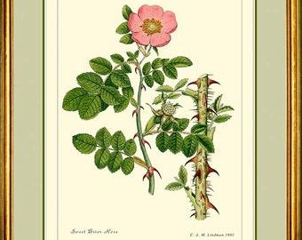 BRIAR ROSE - Vintage Botanical print reproduction 292